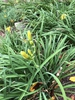 Hemerocallis hybrida