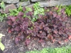 Heuchera 'Palace Purple'  summer