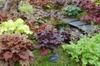 Heuchera cultivars