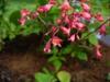 Heuchera sanguinea flowers