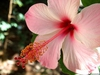 Hibiscus-rosa-sinensis