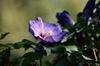 Hibiscus syriacus 'Blue Bird'