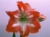 Hippeastrum spp. = Amaryllis spp.