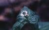 Hydrastis canadensis