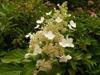 'Grandiflora' Leaf