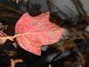Hydrangea quercifolia 'Pee Wee'