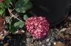 Hydrangea arborescens 'Bella Anna' Flower
