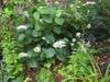 Hydrangea arborescens 'Haas' Halo'