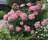 Hydrangea arborescens NCHA2