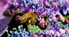 Hydrangea with bee closeup