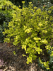 Hydrangea macrophylla 'Lemon Daddy'