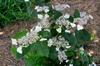 Hydrangea serrata 'Intermedia'