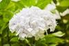 Hydrangea white flower