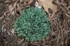 Hylotelephium telephium