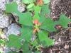 Euphorbia heterophylla var cyathophora
