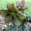 Helleborus x glandorfensis 'Ice N' Roses Red'