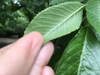 Prunus subhirtella back of leaf