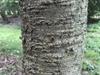 Prunus subhirtella bark