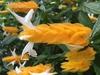 Colorful orange bracts, white tubular flowers.