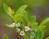 Ilex glabra Flowers