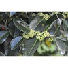 Ilex x koehneana 'Martha Berry' blooms