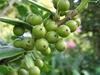 Unripe fruits