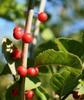 Fruit and stem