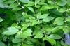 Ilex verticillata leaves and flowers