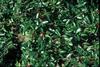 Ilex vomitoria Fruit and Leaf