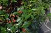 Ilex x 'Christmas Jewel' Fruit and Leaf