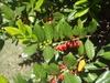 Ilex 'Nellie Stevens' Leaf and Fruit