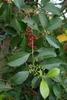 Ilex x attenuata 'Savanah' Leaf