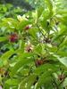 Illicum floridanum