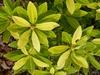 Illicium parviflorum 'Florida Sunshine'