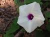 Ipomoea pandurata flower
