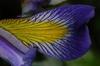 Iris virginica