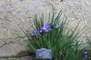 Iris unguicularis 'Mary Barnard'