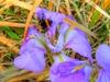 Iris unguicularis flower