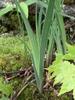 var. smaliia leaves