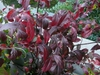 Itea virginica 'Henry's Garnet' red leaves