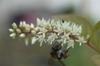 Itea virginica 'Henry's Garnet' flowers