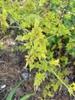 'Frojas' leaves, April, Davidson County, NC