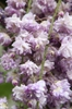 "Japanese Wisteria (Wisteria floribunda) ""Violacea Plena"""