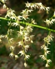 Stenanthium gramineum