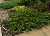 Juniperus chinensis 'Sargentii'