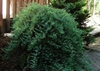 Juniperus conferta 'Blue Lagoon'