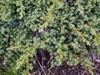 Juniperus-procumbens 'Kishiogima'
