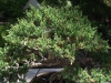 "Juniperus chinensis ""San Jose'"