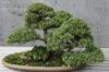 "Juniperus chinensis ""Skimpaku'"