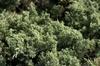 Juniperus chinensis 'Parsonii'